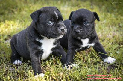 Due Cuccioli di Staffordshire Bull Terrier