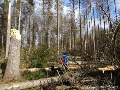 Auf vielen Wanderwegen in der Hinteren Sächsischen Schweiz besteht ein großes Risiko durch abgestorbene Fichten.