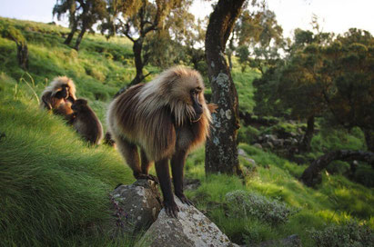 Endangered Gelada Baboons in the Simien Mountains, Ethiopia. Dante Harker