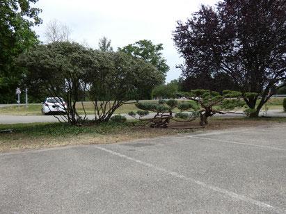 Taille Niwaki sur arbustes Juniperus à Replonges (01), près de Mâcon