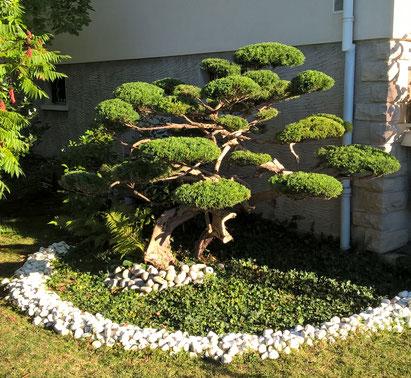 Taille Niwaki -année 3- sur arbuste à Perrigny dans le Jura (39)
