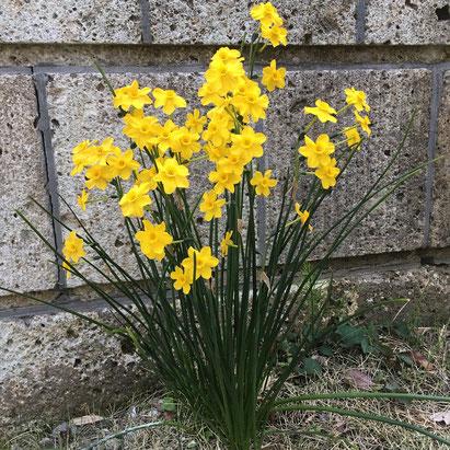門柱脇の水仙。昨年より花の数が多いような気がする。