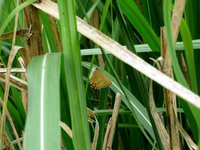 草むらに落下したウラキンシジミ ♀