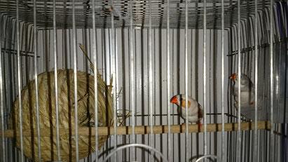 福岡県手乗りインコ小鳥販売ペットミッキン キンカチョウペア五組仲間入りしました。