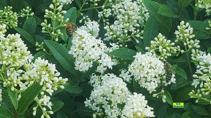 Zwei Bienen beim Nektartanken auf den strahlend weißen Liguster-Blüten von K.D. Michaelis
