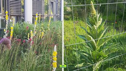 Bilder der Gemeinen Königskerze mit dem grünen Blütenstand und der Seidigen Königskerze (Seidenhaar-Königskerze) mit dem weißen Blütenstand. Beide besitzen gelbe Einzelblüten. Bilder K.D. Michaelis