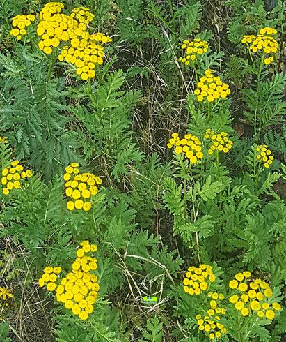 Leuchtend gelb blühender Rainfarn von K.D. Michaelis