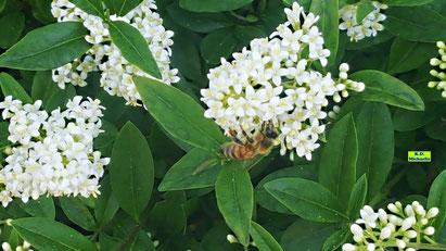 Nahaufnahme einer Biene bei der Nahrungsaufnahme auf den strahlend weißen, duftenden Liguster-Blüten von K.D. Michaelis
