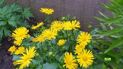 Leuchtend gelber Blütenhorst der Gemswurz / Gamswurz / Gämswurz von K.D. Michaelis