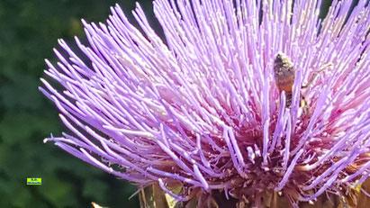 Nahaufnahme der lila Blüte einer Artischocke mitsamt hungriger Biene im Sonnenschein Anfang September von K.D. Michaelis