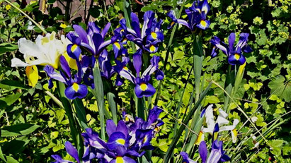 weiß-gelbe und dunkelblau-gelbgefleckte Iris/Schwertlilien von Carola Hauf