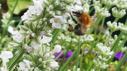 In voller Blüte stehender, intensiv duftender, weißer Lavendel mitsamt seiner geflügelten Besucherin, die mit lustig eckig geformten, dunkelbraunen Pollenhöschen herumfliegt. Bild K.D. Michaelis