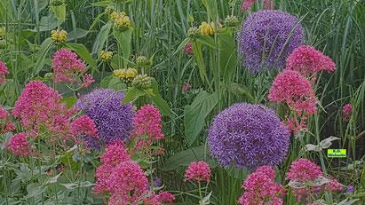 Riesen-Allium/Riesen-Zierlauch, Gold-Taubnessel/Gelbe Taubnessel und rosa Spornblume in einem Beet. Bild K.D. Michaelis