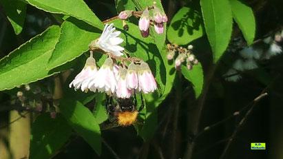 Nahaufnahme: Maiblumenstrauch mit weiß-rosa Blüten und einer nektartrinkenden Hummel von K.D. Michaelis