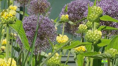 Pflanzbeet mit großen Gelben Taubnesseln und Riesen-Allium in voller Blüte. Bild K.D. Michaelis