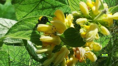 Nahaufnahme einer Hummelkönigin, die Nektar und Pollen an den goldgelben Blüten der Gold-Taubnessel sammelt von K.D. Michaelis