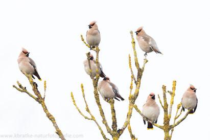 Der Seidenschwanz wurde im Mittelalter als Pestvogel bezeichnet