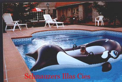 schnauzer en la piscinadel criadero Illas Cies
