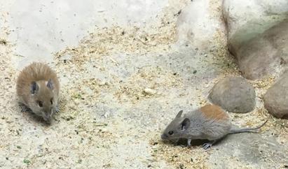 Jungtier mit deutlich orangefarbenen Stacheln am Hinterrücken. Gleichalte Exemplare um 2005 waren heller und gelblich.