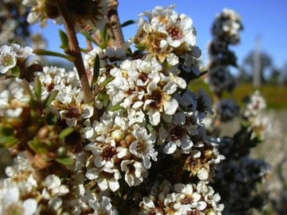 Fragonia - Taxandria fragrans - Anciennement dénommée Agonis fragrans - Famille botanique : Myrtacée