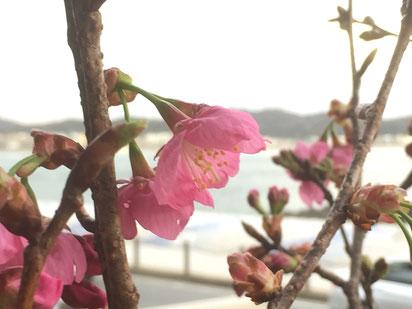 横浜緋桜の花 赤みの強い下向きの花