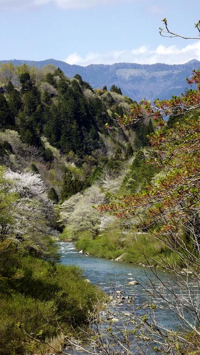 美しい芽吹き山菜料理たけのこ料理中津川付知川河畔見所散策鉄道跡地遊歩道苔地衣類山野草しょうじょうばかまさんさくりどうとさみずきもみじやまざくらすみれしでこぶし