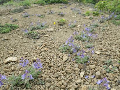 礼文林道コース(砂礫地の植物)沿いの植物