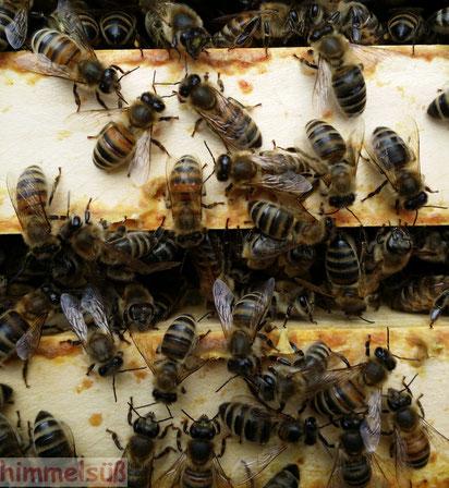 Bienen so nah