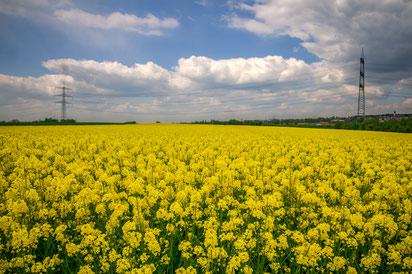 Rapsfelder in Deutschland für den Biodiesel als Wandposter online bestellen oder kostenlos lizenzfrei herunterladen