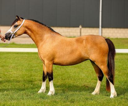 Oostdijk's Ceridwen Meredith, filly, 2019, retained (First Premium foal)