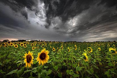 Sonnenblumenfeld, Fototipp