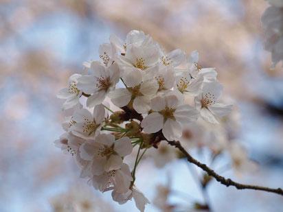 ●すっかり開花しました。3月27日に撮影。