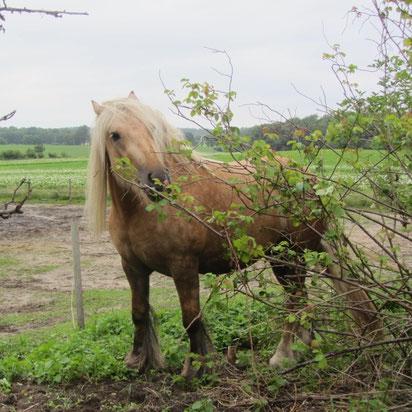 Rosensträucher sind jederzeit bei meinen Pferden beliebt!