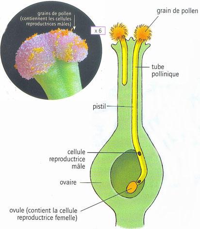 En médaillon le détail du stigmate d'une fleur recouvert de grains de pollen. Et le schéma du trajet du tube pollinique. Source: Belin. Cliquer sur l'image pour l'agrandir.