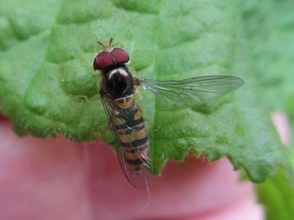 Marmalade hover Fly Episyrphus balteatus