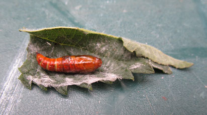 Ooh, what is it? Pupa of a nettle leaf-rolling moth – stay tuned for ID!