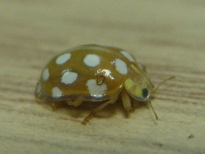 Orange ladybird Halyzia sedecimguttata
