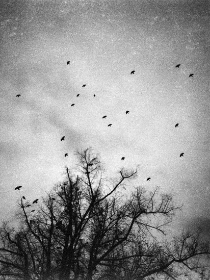 Black and white trees without leaves and crows on the branches