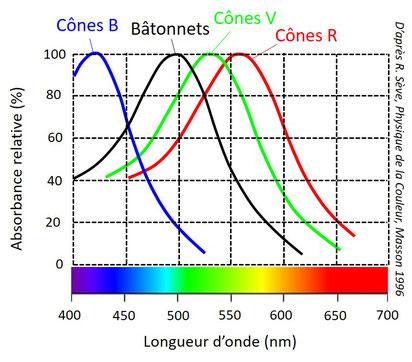Réponses spectrales des cônes et des bâtonnets.
