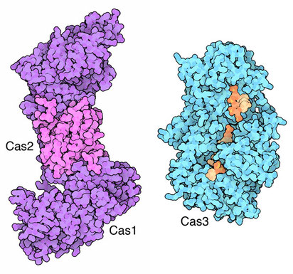 Cas1-2 for memory formation and Cas3 for virus DNA breakdown