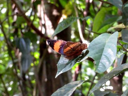 午後の林縁で占有行動をとるコノハチョウ。