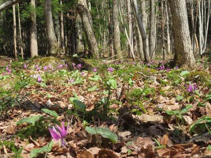 明るい林床のカタクリの大群落。