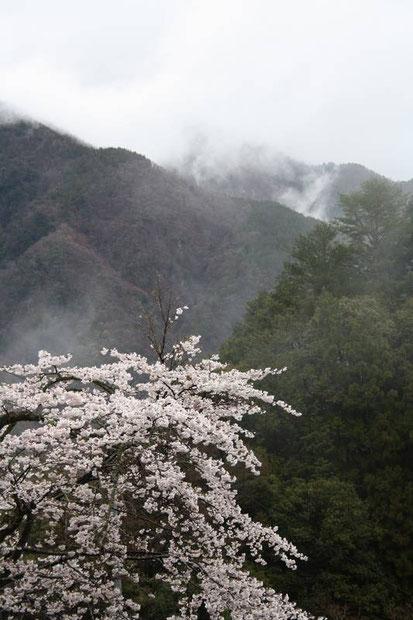 Cerisiers et brumes au petit matin