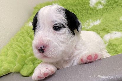Sealyham Terrier Smilla