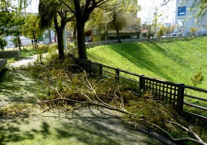 【木戸が池緑地】やはりしなやかなはずの柳の大木も、大枝が折れ散乱(西宿1丁目)