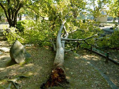 【芦原公園】ケヤキの大木とみられる倒木(箕面5丁目)