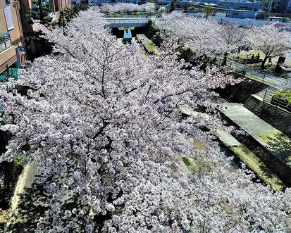 キューズモールの千里川両岸は桜満開