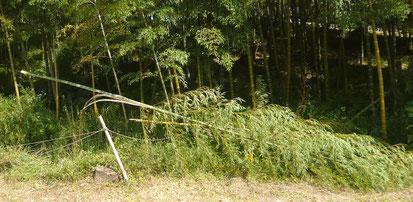 【箕面東公園】しなやかな竹もこのとおり。10本以上。(粟生新家2丁目)