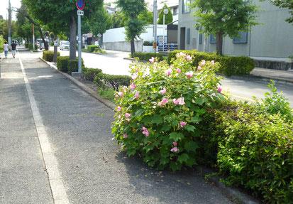 向こうの街路樹帯は、整然とせん定されています。