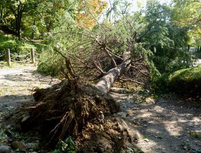 【箕面西公園(親水公園)】高さ約10mのヒマラヤ杉倒木。さらにヒマラヤ杉の大木がもう1本倒木(桜2丁目)